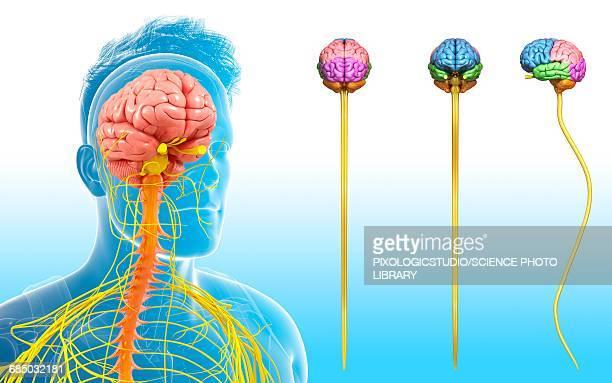 ilustrações, clipart, desenhos animados e ícones de human brain and spinal cord, illustration - lobo temporal