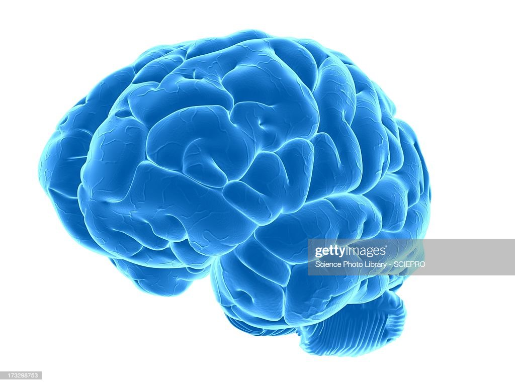 Human brain, artwork : stock illustration