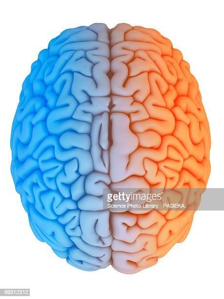 ilustraciones, imágenes clip art, dibujos animados e iconos de stock de human brain, artwork - cerebro humano