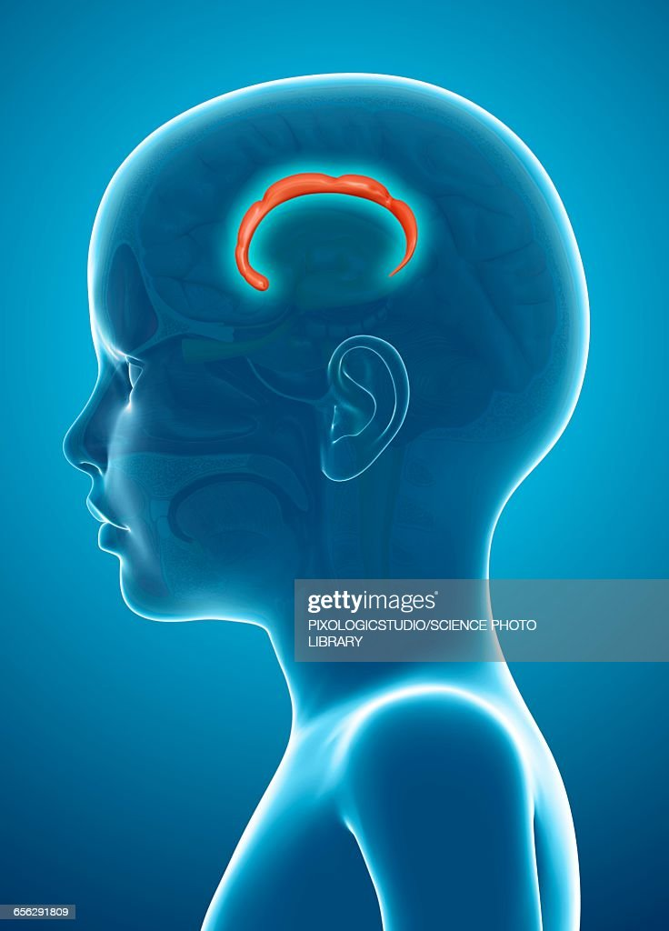 Human Brain Cingulate Gyrus Illustration Stock Illustration | Getty ...