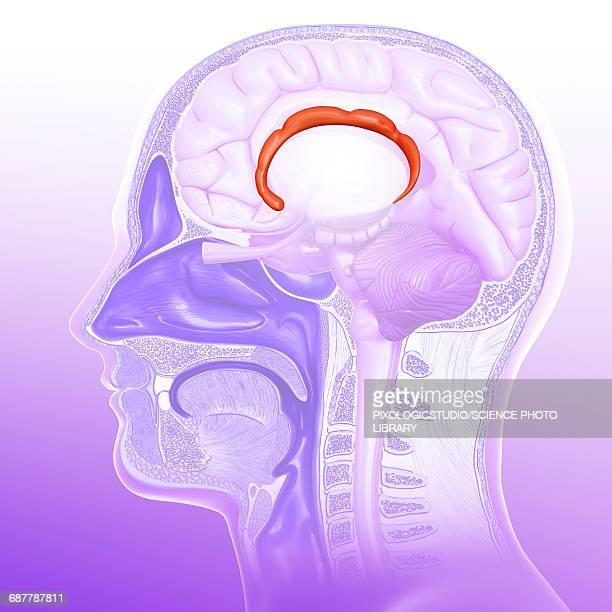 Cingulate Gyrus Stock Illustrations And Cartoons | Getty Images