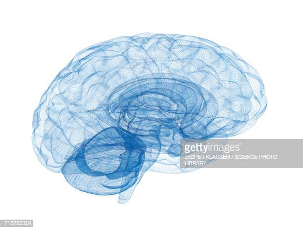 Human brain connections