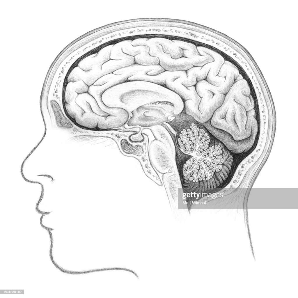 Human brain cross section lateral view stock illustration getty images human brain cross section lateral view stock illustration ccuart Images