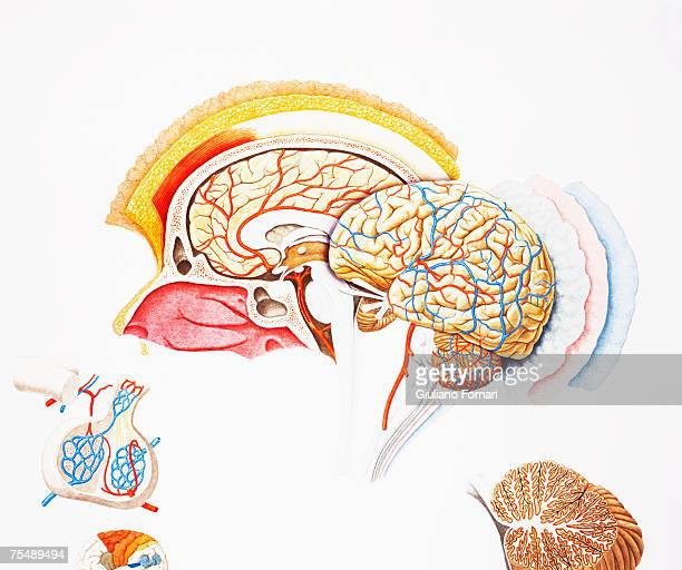 human brain, exploded cross-section - diencephalon stock illustrations, clip art, cartoons, & icons
