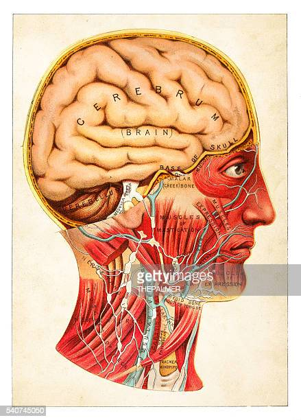 Cerveau humain illustration 1891
