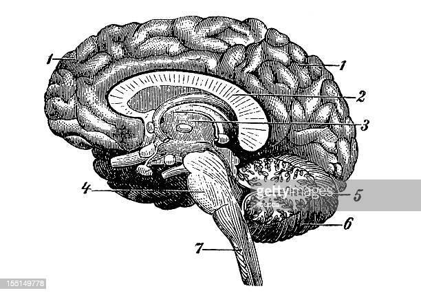 human brain - biomedical illustration stock illustrations