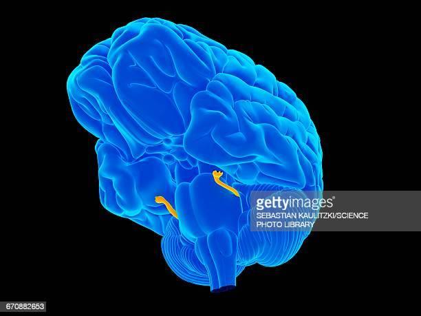 human brain - trigeminal nerve stock illustrations, clip art, cartoons, & icons