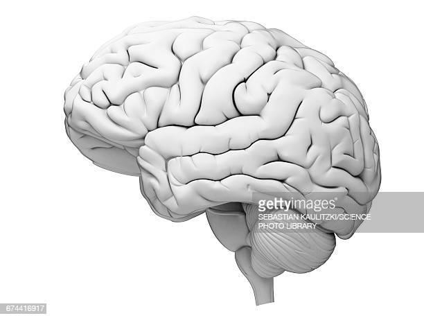 illustrazioni stock, clip art, cartoni animati e icone di tendenza di human brain - cervello