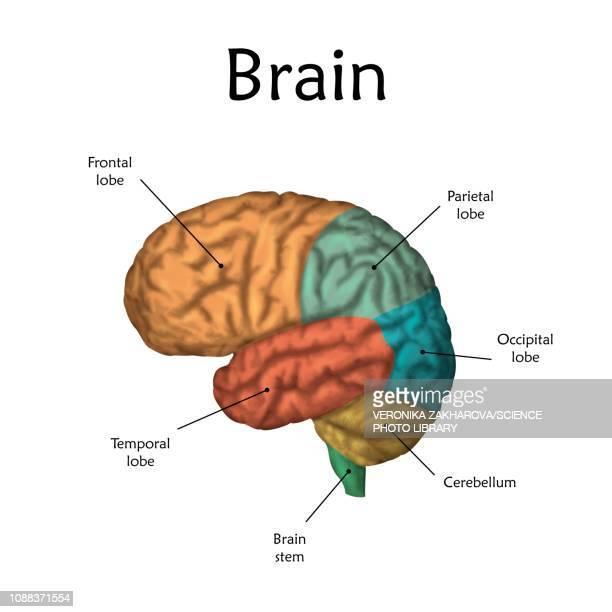 human brain, illustration - human body part stock-grafiken, -clipart, -cartoons und -symbole