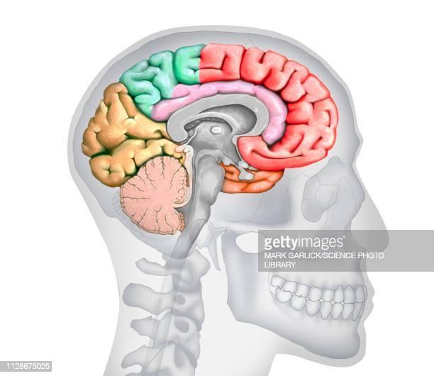human brain, illustration - pons stock illustrations, clip art, cartoons, & icons