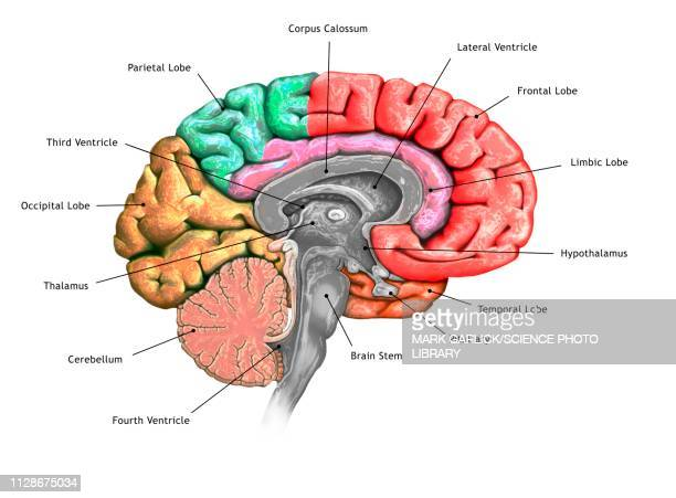 human brain, illustration - diencephalon stock illustrations, clip art, cartoons, & icons