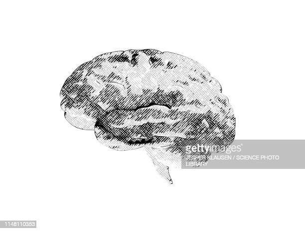 human brain, illustration - menschliches körperteil stock-grafiken, -clipart, -cartoons und -symbole