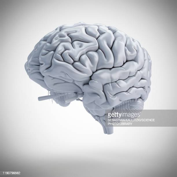 human brain, illustration - anatomy stock illustrations