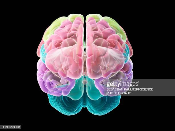 human brain, illustration - human body part stock illustrations