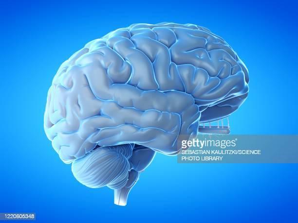human brain, illustration - illness stock illustrations