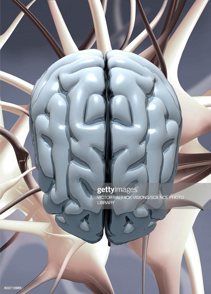 Human brain, illustration : Stock Illustration