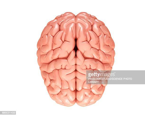 human brain, illustration - brain stock illustrations
