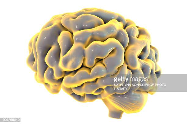 human brain, illustration - anatomical model stock illustrations, clip art, cartoons, & icons