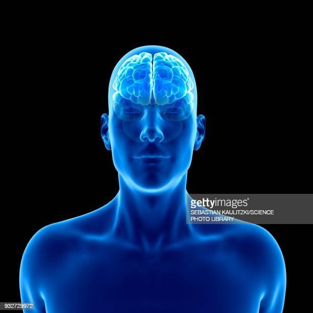 human brain, illustration - front view stock illustrations