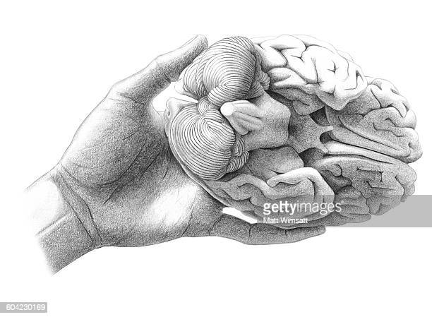 human brain in hand - optic chiasm stock illustrations, clip art, cartoons, & icons
