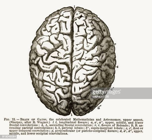 human brain isolated on white engraved illustration, circa 1880 - temporal lobe stock illustrations, clip art, cartoons, & icons