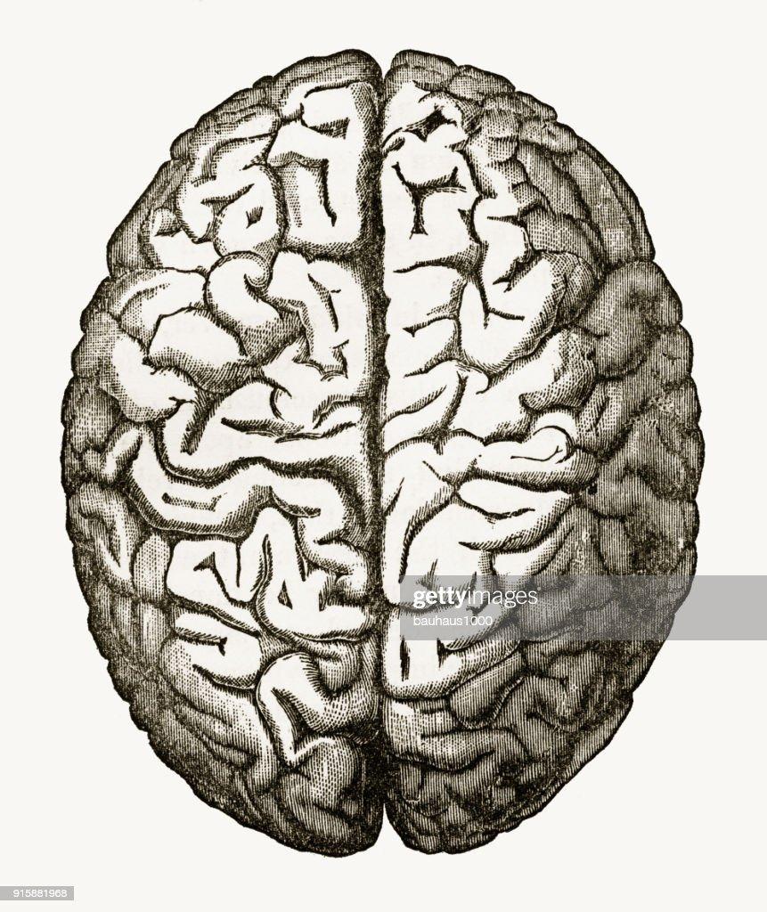 Cérebro humano Isolado no branco gravados ilustração, cerca de 1880 : Ilustração