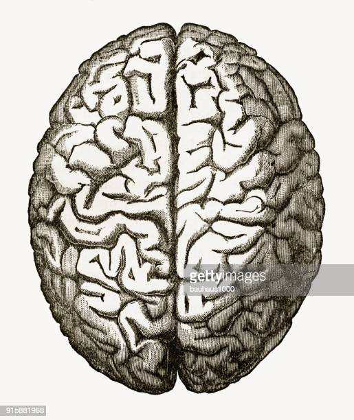 human brain isolated on white engraved illustration, circa 1880 - optic nerve stock illustrations, clip art, cartoons, & icons