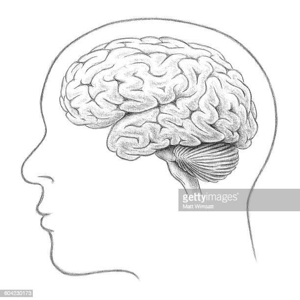 human brain, lateral view - human brain stock illustrations