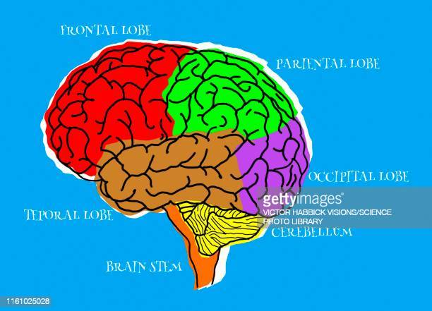 human brain lobes, illustration - temporal lobe stock illustrations, clip art, cartoons, & icons