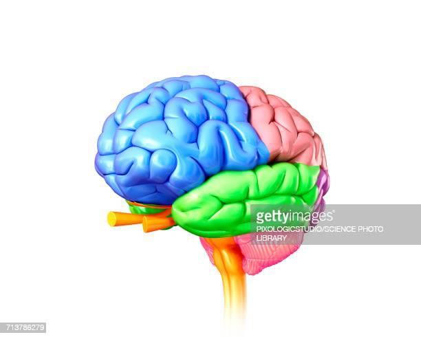 human brain regions, illustration - central nervous system stock illustrations, clip art, cartoons, & icons