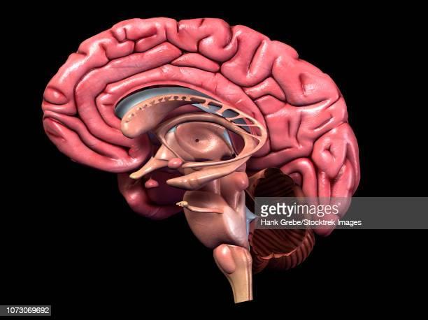 human brain, sagittal section. - trigeminal nerve stock illustrations, clip art, cartoons, & icons
