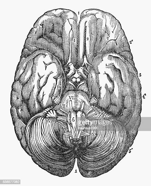 human brain showing the under surface engraved illustration, circa 1880 - neuroscience stock illustrations