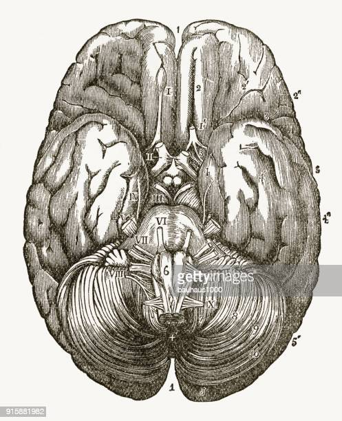 human brain showing the under surface engraved illustration, circa 1880 - temporal lobe stock illustrations, clip art, cartoons, & icons