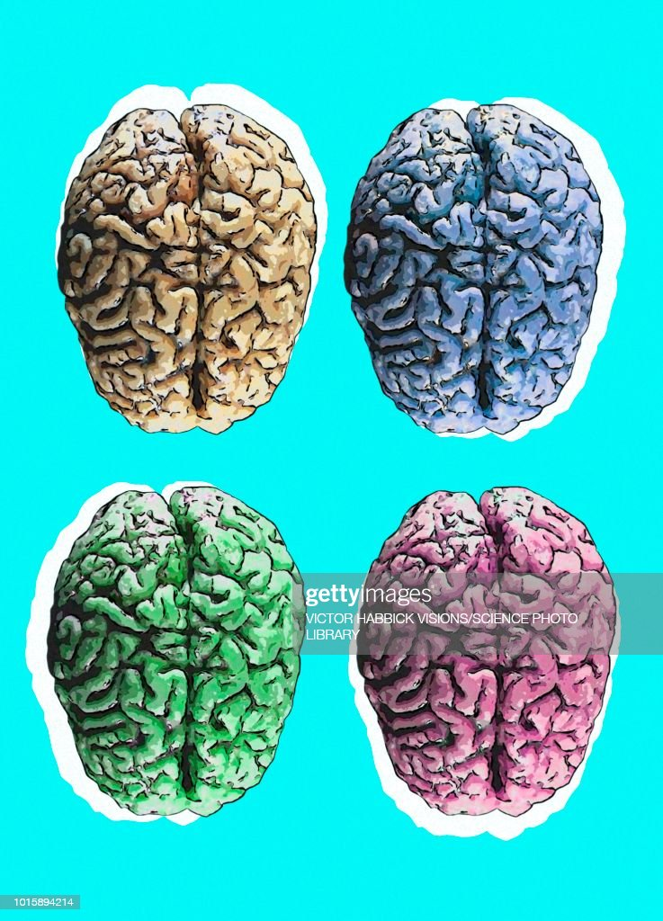 Human brains, illustration : stock illustration