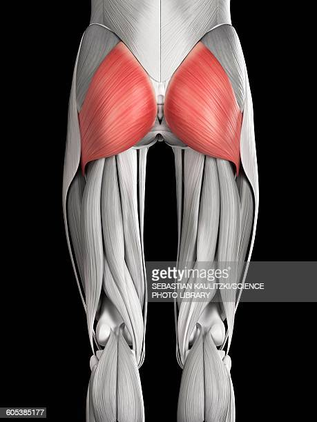 illustrations, cliparts, dessins animés et icônes de human buttock muscles, illustration - fesses