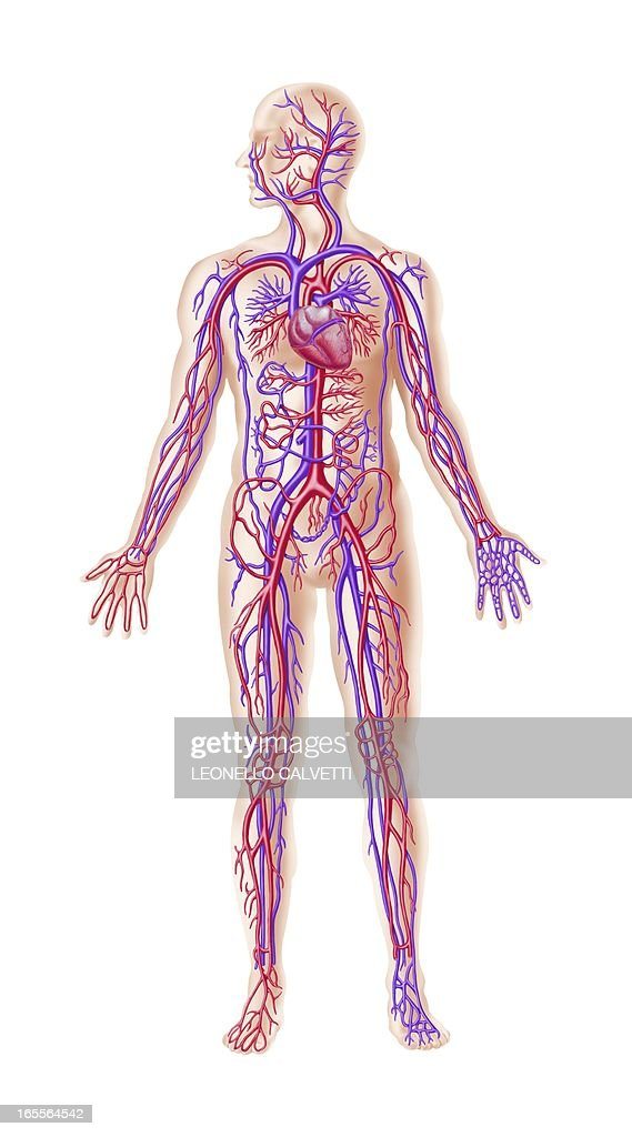 Human Cardiovascular System Artwork Stock Illustration Getty Images