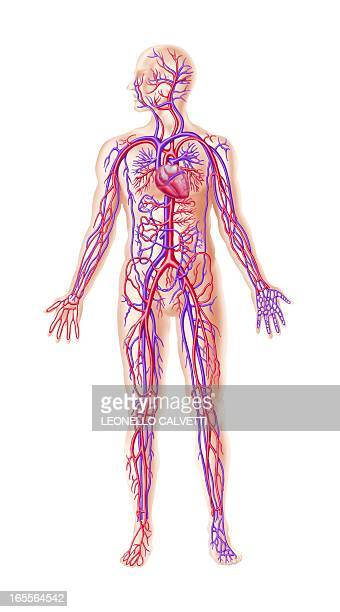 human cardiovascular system, artwork - blood vessel stock illustrations, clip art, cartoons, & icons