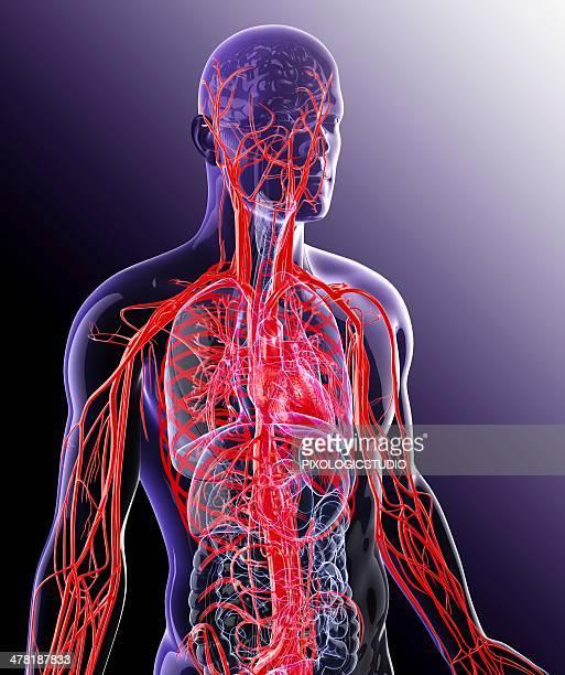 ilustraciones, imágenes clip art, dibujos animados e iconos de stock de human cardiovascular system, artwork - sistema circulatorio