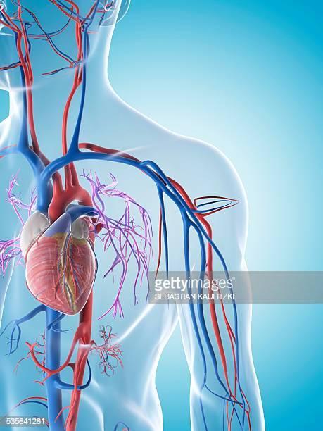 human cardiovascular system, illustration - biomedical illustration stock illustrations