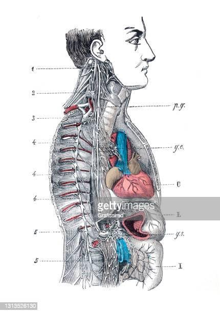 human central nervous system illustration 1886 - neuropathy stock illustrations