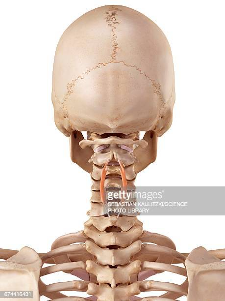 Human cervical muscle