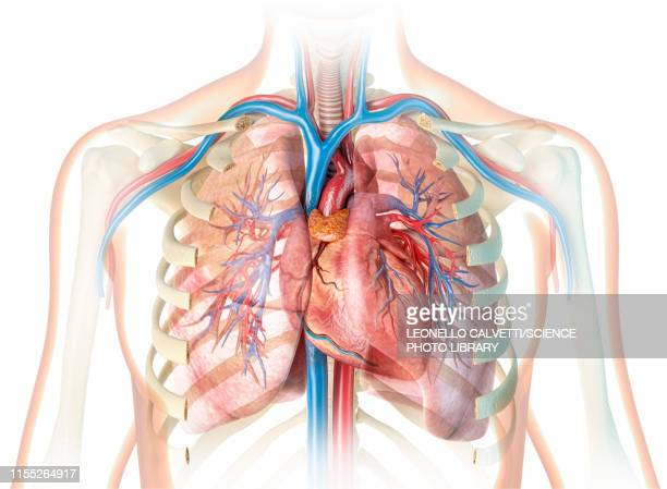 human chest anatomy, illustration - anatomy stock illustrations