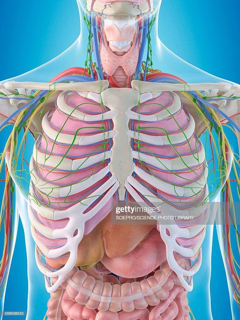 Human Chest Anatomy Illustration Stock Illustration Getty Images