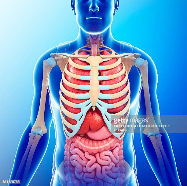 Rib Cage Stock Illustrations And Cartoons Getty Images