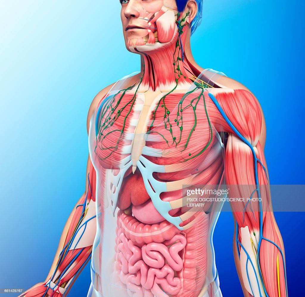 Human Chest Anatomy Illustration Stock Illustration Getty Images