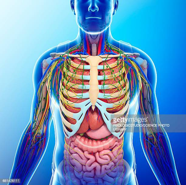 Chest Anatomy Stock Photos And Pictures Getty Images
