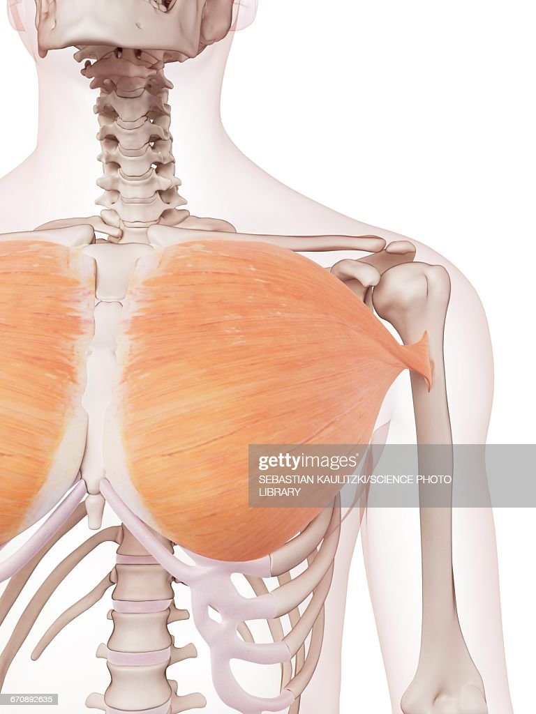 Human Chest Muscles Stock Illustration Getty Images