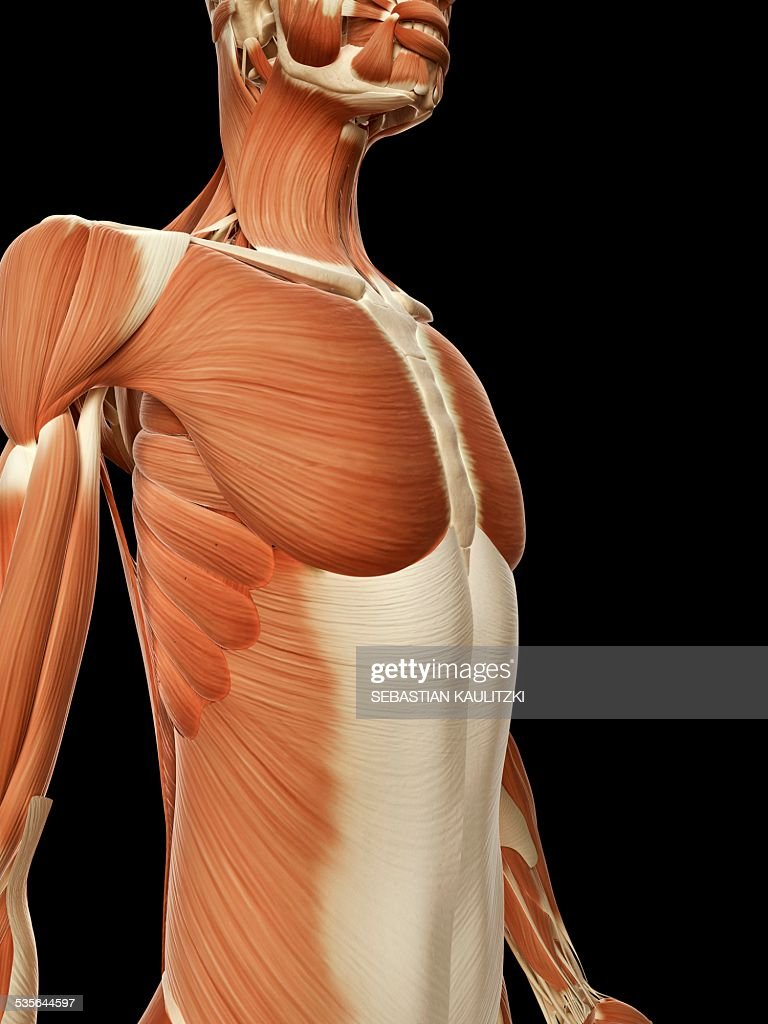 Human Chest Muscles Illustration Stock Illustration Getty Images