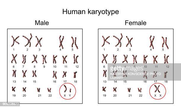 human chromosomes, male vs female karyotype, illustration - chromosome stock illustrations
