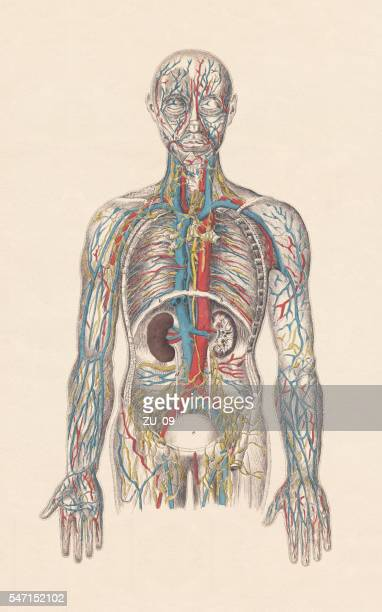 Human circulatory system, hand-coloured engraving, published in 1861
